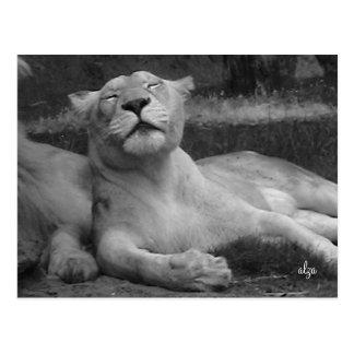 Lioness (animal life 3)postcard postcard
