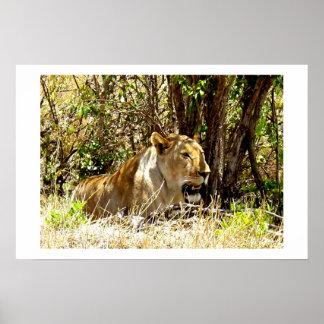 LIONESS IN KENYA AFRICA POSTER