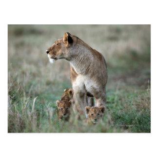 Lioness (Panthera leo) and cubs, Masai Mara Postcard
