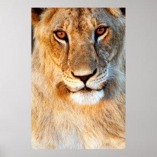 Lioness (Panthera Leo) Portrait. Tarangire Poster