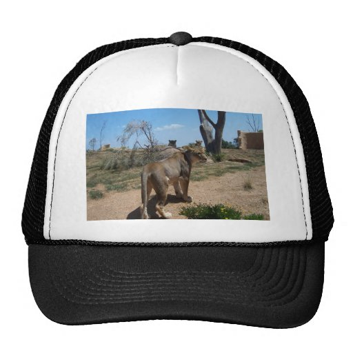 Lioness Patroling Her Turf Hats