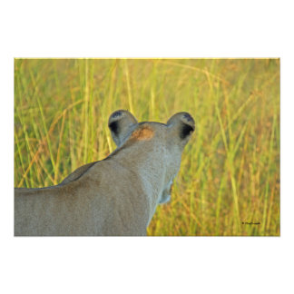 LIONESS seen from behind; tall green/yellow grass Photo
