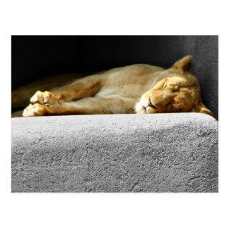Lioness Sleeping Postcard