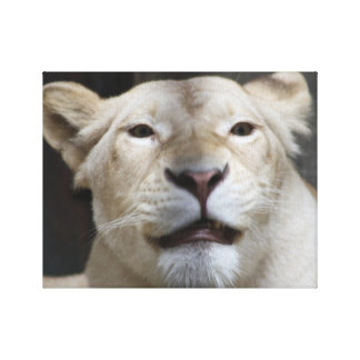 Lioness Smiling Canvas Print