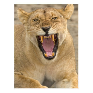 Lioness Snarl B East Africa Tanzania Post Card