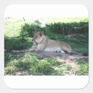 Lioness Square Sticker
