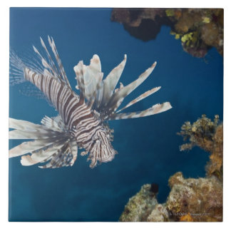 Lionfish (Pterois volitans) swimming over Large Square Tile
