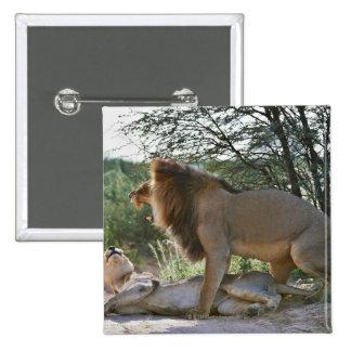 lions mating, Panthera leo, Kgalagadi 15 Cm Square Badge