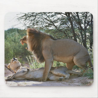 lions mating, Panthera leo, Kgalagadi Mouse Pad