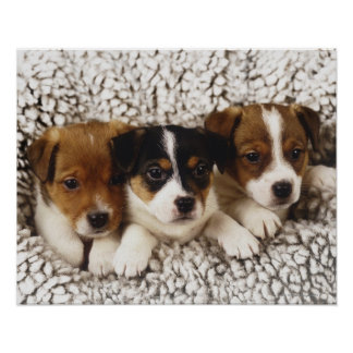 Litter of puppies posters