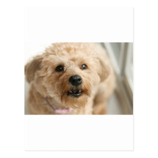 Little Awesome Abby the Yorkie Poo Postcards