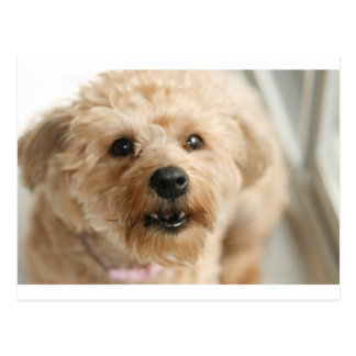 Little Awesome Abby the Yorkie Poo Postcard