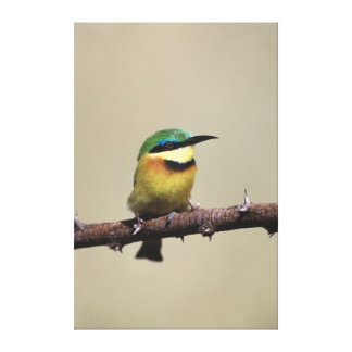 Little Bee-eater Gallery Wrap Canvas