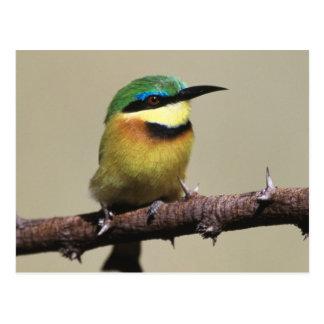 Little Bee-eater Postcard