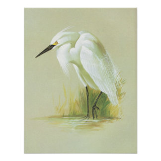Little Egret - Egretta garzetta Poster