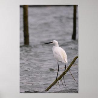 Little egret perched poster