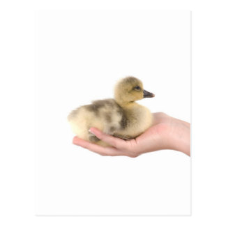 little goose in one hand postcard