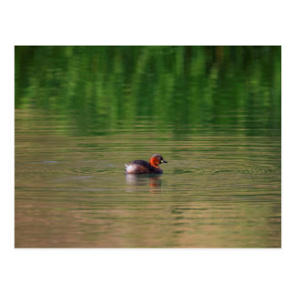 Little grebe duck in breeding plumage postcard