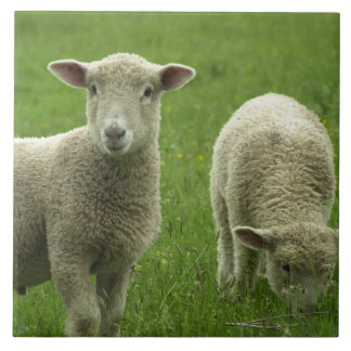 Little Lambs Tile