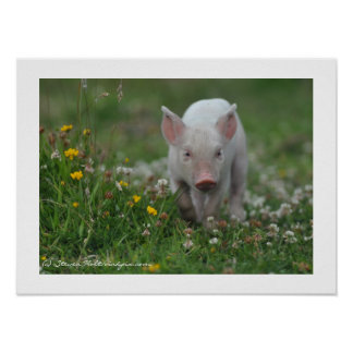 Little Piglet Walking in Flowers Poster