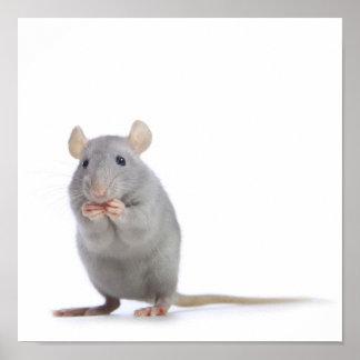 Little rat poster