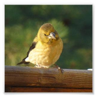 Little Yellow Bird Photographic Print