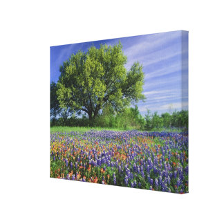 Live Oak & Texas Paintbrush, and Texas Canvas Print