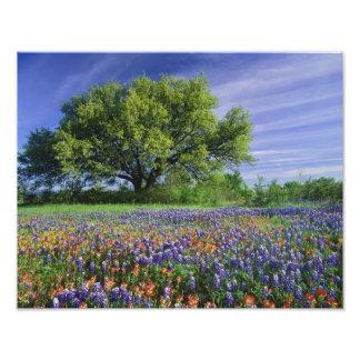 Live Oak & Texas Paintbrush, and Texas Photo Art