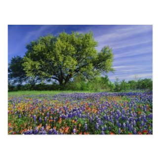 Live Oak & Texas Paintbrush, and Texas Postcard