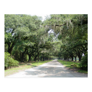 Live Oaks with Moss Postcard