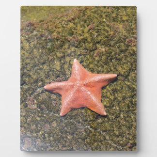 Living starfish.JPG Plaque