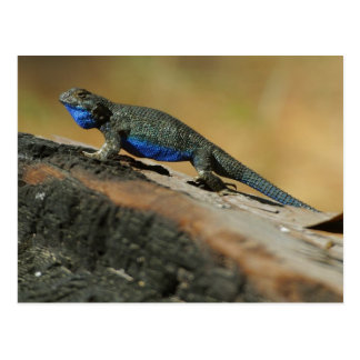 Lizards Blue Belly Scales Postcard
