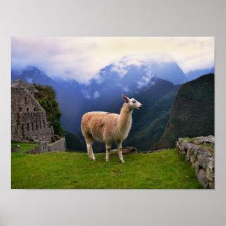 Llama at Machu Picchu, Peru Poster
