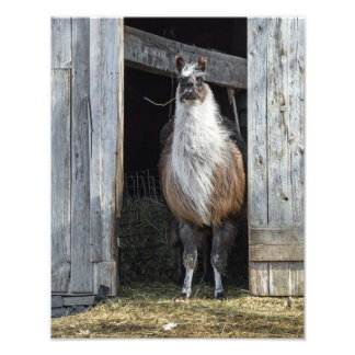 Llama, Greeting The Day Art Photo
