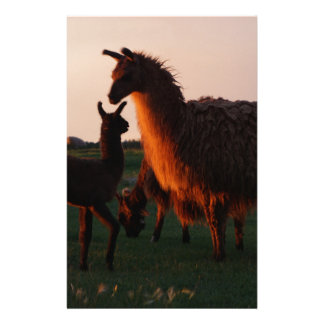 Llama mother and baby at sunset stationery