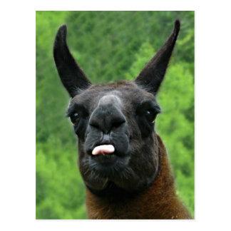 Llama Sticks Out Tongue at YOU! Postcard