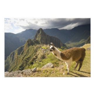 LLamas and an over look of Machu Picchu, Photo Print