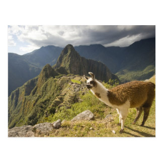 LLamas and an over look of Machu Picchu, Postcard