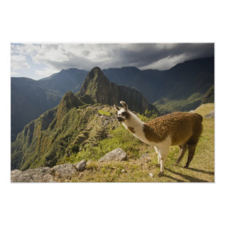 LLamas and an over look of Machu Picchu, Posters