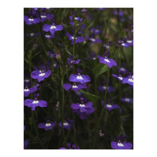 Lobelia, Purple Flowers with Dark Background. Custom Flyer