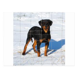 Lobo Rottweiler Postcard