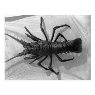 Lobster Black and White Photograph Postcard
