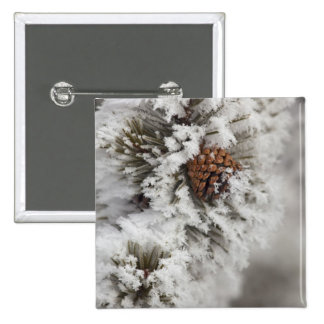 Lodgepole Pine cone in winter in Yellowstone 15 Cm Square Badge