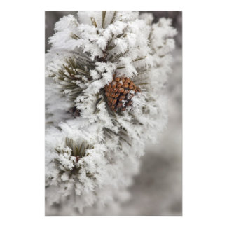Lodgepole Pine cone in winter in Yellowstone Art Photo