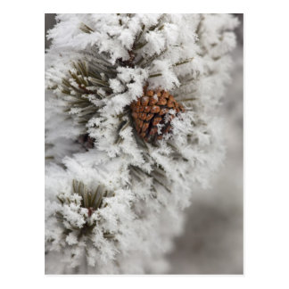 Lodgepole Pine cone in winter in Yellowstone Postcard