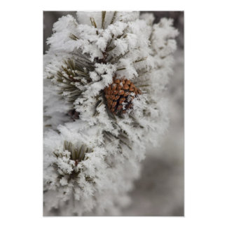 Lodgepole Pine cone in winter in Yellowstone Posters
