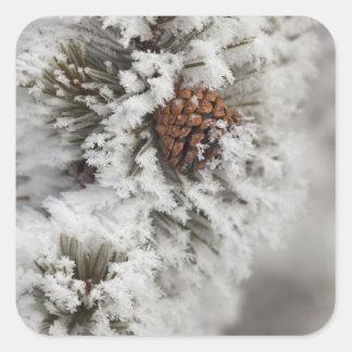 Lodgepole Pine cone in winter in Yellowstone Square Sticker