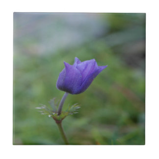 Lone Blue-Purple Anemone Tile