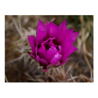 Lone Purple Cactus Flower New Mexico Greeting Card Postcard