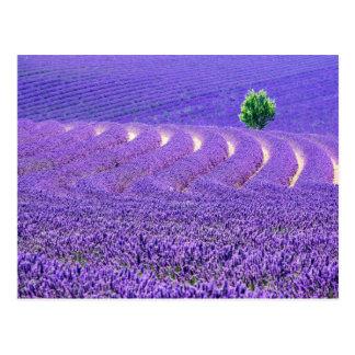 Lone tree in Lavender Field, France Postcard